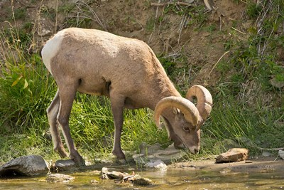 Bighorn Sheep Drinking, Yellowstone National Park, Montana Poster by Michel Hersen / Danita Delimont for $47.50 CAD