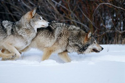 Gray Wolves Running In Snow, Montana Poster by Richard & Susan Day / DanitaDelimont for $42.50 CAD
