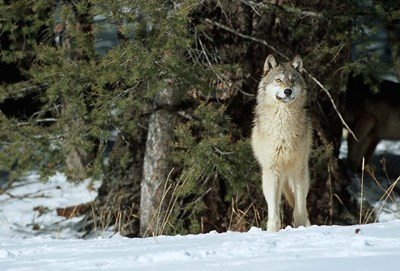 Gray Wolf In Winter, Montana Poster by Richard & Susan Day / DanitaDelimont for $42.50 CAD