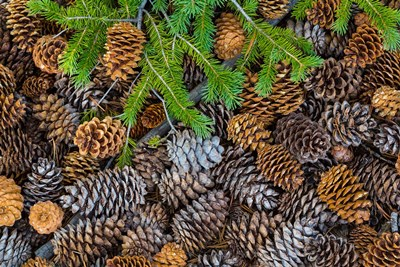 Pine Cones And Douglas Fir Bough, Nevada Poster by Jaynes Gallery / Danita Delimont for $42.50 CAD