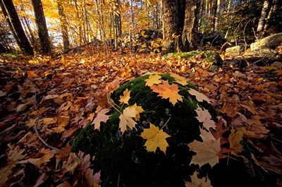 Sugar Maple Leaves on Mossy Rock, Nature Conservancy's Great Bay Properties, New Hampshire Poster by Jerry & Marcy Monkman / Danita Delimont for $67.50 CAD