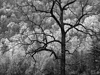 Tree Caught In Dawn's Early Light, North Carolina (BW) Poster by Ann Collins / DanitaDelimont for $55.00 CAD