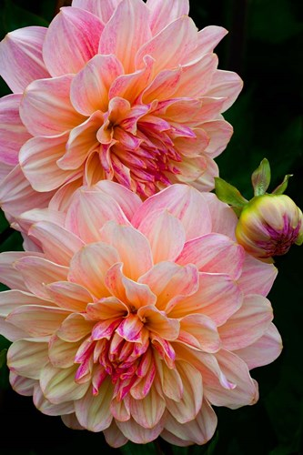 Close-Up Of Pink Dahlia Flowers Poster by Jaynes Gallery / Danita Delimont for $42.50 CAD