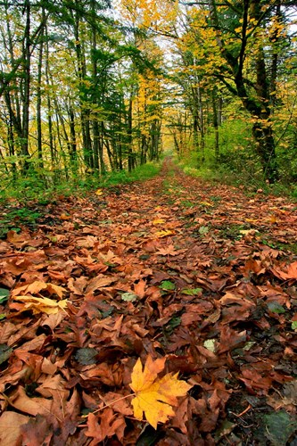 Trail Covered In Maples Leaves, Oregon Poster by Jaynes Gallery / Danita Delimont for $42.50 CAD