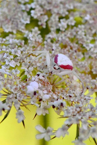 Crab Spider On Wild Carrot Bloom Poster by Jaynes Gallery / Danita Delimont for $60.00 CAD