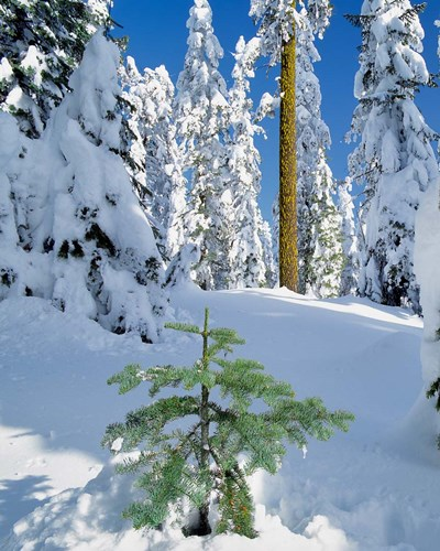 Scenic Of New Snow On Forest, Oregon Poster by Jaynes Gallery / Danita Delimont for $53.75 CAD