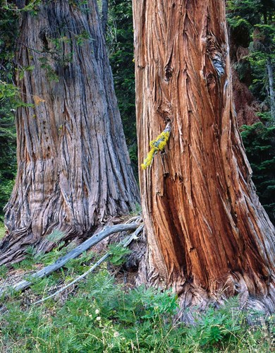 Two Incense Cedar Trees, Oregon Poster by Jaynes Gallery / Danita Delimont for $88.75 CAD