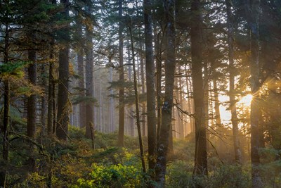Sunset Rays Penetrate The Forest In The Siuslaw National Forest Poster by Chuck Haney / Danita Delimont for $47.50 CAD