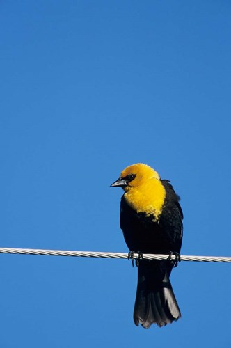 Yellow-Headed Blackbird On A Power Line Poster by Richard & Susan Day / DanitaDelimont for $42.50 CAD