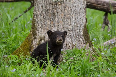 Black Bear Cub Next To A Tree Poster by Jaynes Gallery / Danita Delimont for $47.50 CAD