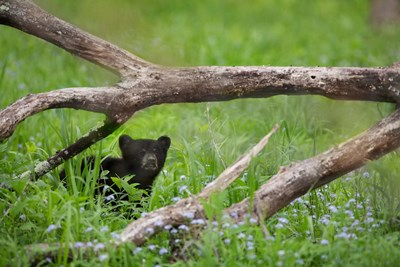 Black Bear Cub Under Branches Poster by Jaynes Gallery / Danita Delimont for $47.50 CAD