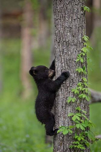 Black Bear Cub Climbing A Tree Poster by Jaynes Gallery / Danita Delimont for $42.50 CAD