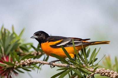 Baltimore Oriole Perched Poster by Larry Ditto / Danita Delimont for $42.50 CAD