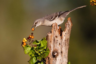 Northern Mockingbird Feeding On Anaqua Berries Poster by Larry Ditto / Danita Delimont for $60.00 CAD