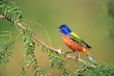 Painted Bunting Perched Poster by Richard & Susan Day / DanitaDelimont for $42.50 CAD