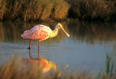 Roseate Spoonbill, South Padre Island, Texas Poster by Richard & Susan Day / DanitaDelimont for $42.50 CAD
