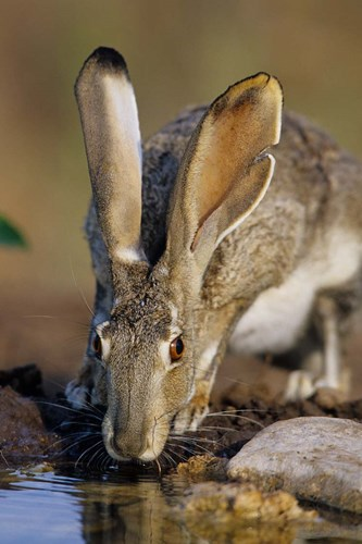 Black-Tailed Jack Rabbit Drinking Poster by Richard & Susan Day / DanitaDelimont for $42.50 CAD