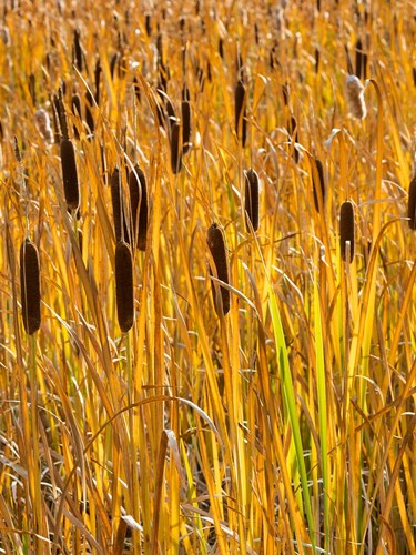 Cattails In A Field, Utah Poster by Jaynes Gallery / Danita Delimont for $47.50 CAD