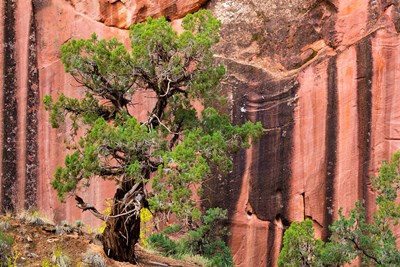 Juniper Tree And A Cliff Streaked With Desert Varnish, Utah Poster by Jaynes Gallery / Danita Delimont for $53.75 CAD
