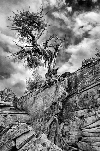 Desert Juniper Tree Growing Out Of A Canyon Wall, Utah (BS) Poster by Judith Zimmerman / DanitaDelimont for $51.25 CAD