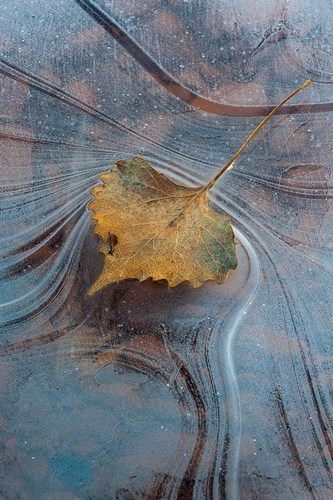 Leaf With Frozen Ice Pattern Poster by Judith Zimmerman / DanitaDelimont for $51.25 CAD