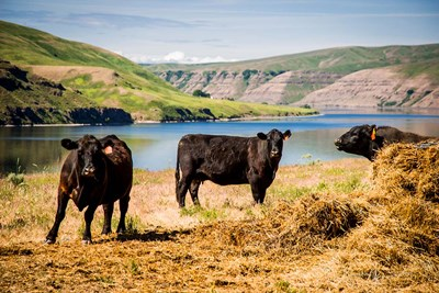 Cows On The Northern Bank Of Snake River Poster by Alison Jones / Danita Delimont for $60.00 CAD