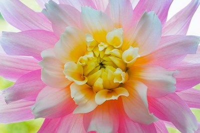 Close-Up Of A Pastel Dahlia Flower Poster by Jaynes Gallery / Danita Delimont for $71.25 CAD