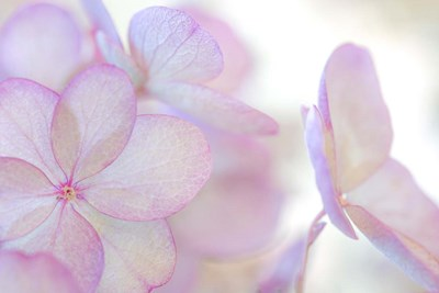 Close-Up Of Soft Pink Hydrangea Flower Poster by Jaynes Gallery / Danita Delimont for $47.50 CAD