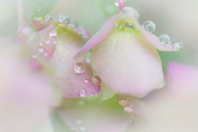 Dew Drops On Ornamental Oregano Poster by Jaynes Gallery / Danita Delimont for $42.50 CAD