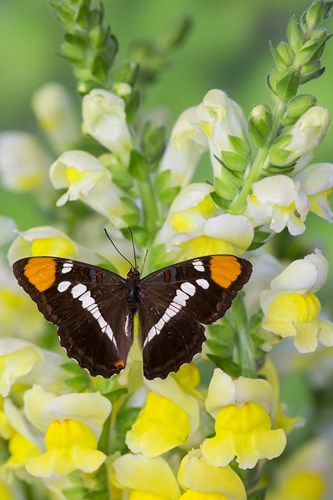 California Sister Butterfly On Yellow And White Snapdragon Flowers Poster by Darrell Gulin / Danita Delimont for $42.50 CAD