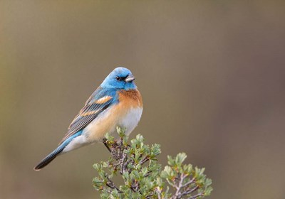 Lazuli Bunting On A Perch At The Umtanum Creek Recreational Are Poster by Gary Luhm / Danita Delimont for $43.75 CAD