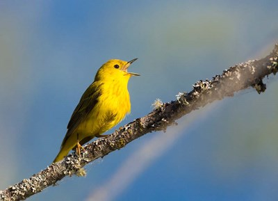 Yellow Warbler Sings From A Perch Poster by Gary Luhm / Danita Delimont for $62.50 CAD