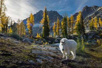 Adult, Male Mountain Goat Poster by Gary Luhm / Danita Delimont for $47.50 CAD
