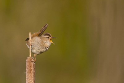 Wren Sings From A Cattail In A Marsh On Lake Washington Poster by Gary Luhm / Danita Delimont for $60.00 CAD