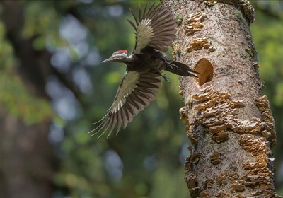 Female Pileated Woodpecker Flies From Nest In Alder Snag Poster by Gary Luhm / Danita Delimont for $48.75 CAD