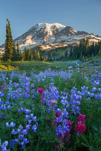 Wildflowers And Mt Rainier At Mazama Ridge Poster by Gary Luhm / Danita Delimont for $42.50 CAD