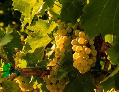 Sauvignon Blanc Grapes Poster by Richard Duval / Danita Delimont for $46.25 CAD