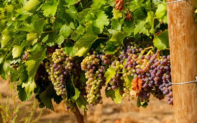 Wine Grapes In Veraison In A Vineyard Poster by Richard Duval / Danita Delimont for $66.25 CAD