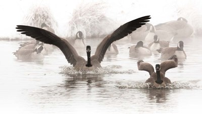 Canadian Geese Land In A Winter's Pond Poster by Janet Muir / DanitaDelimont for $46.25 CAD