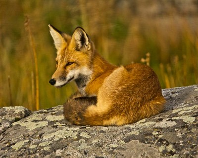 Red Fox Resting, Yellowstone National Park, Wyoming Poster by Michel Hersen / Danita Delimont for $41.25 CAD