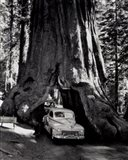 A tall redwood tree, or Sequoia,  through which a road has been cut- 1955