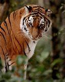 Tiger - photo