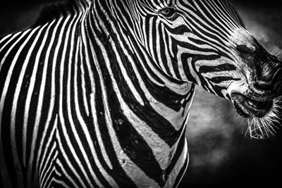 Zebra Black & White Poster by Duncan for $43.75 CAD