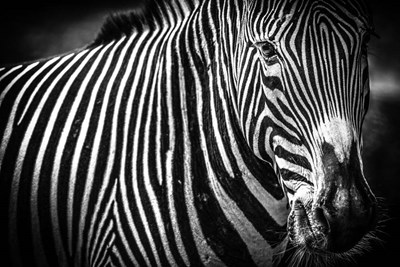 Zebra II Black & White Poster by Duncan for $43.75 CAD