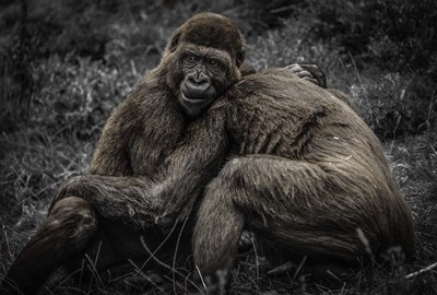 Gorillas 2 Poster by Duncan for $45.00 CAD