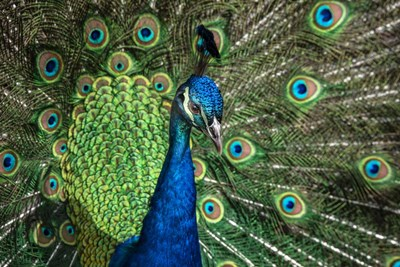 Peacock Showing Off Close Up III Poster by Duncan for $43.75 CAD
