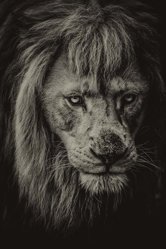 The White Albino Lion IV Sepia Poster by Duncan for $43.75 CAD