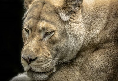 Female White Lion Poster by Duncan for $45.00 CAD