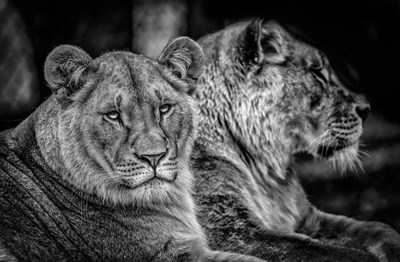 Two Female Lions Black & White Poster by Duncan for $43.75 CAD