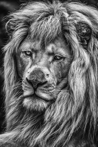The White Albino Lion V Black & White Poster by Duncan for $43.75 CAD